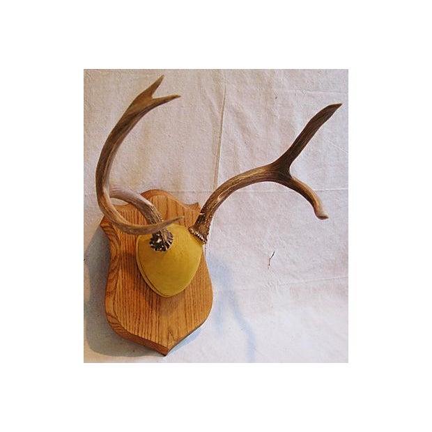 Mounted Trophy Deer Antlers on Wood Shield - Image 4 of 8