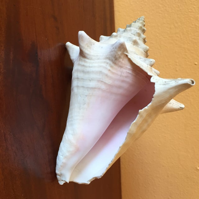 Vintage Queen Conch Shells - A Pair - Image 10 of 11