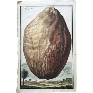 18th Century Johann Volckamer Botanical Coconut Engraving