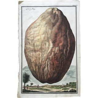 18th Century Johann Volckamer Botanical Coconut Engraving