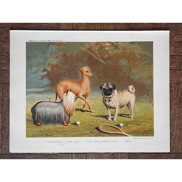 Antique Dog Lithograph - Yorkie, Greyhound, Pug - Image 2 of 3