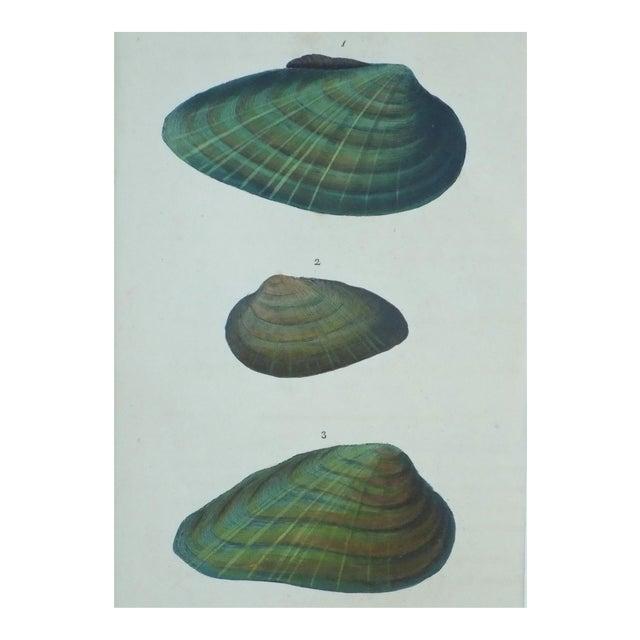 Original Green Mussel Engraving C. 1803 - Image 1 of 4
