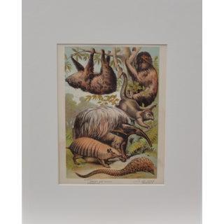 Sloth, Anteater & Armadillo Print, C. 1880