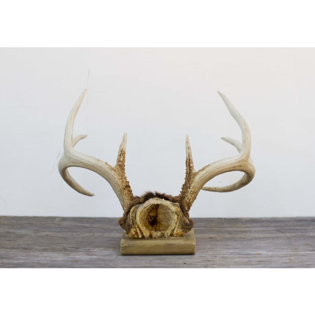 Image of Mounted 8 Point Buck Antlers