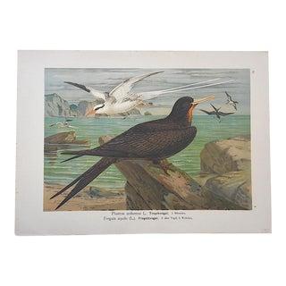 Antique Bird Lithograph - Water & Shore Birds