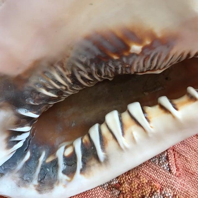 Image of Queen Helmet Conch Seashell
