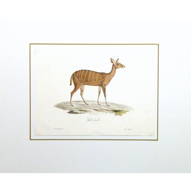 19th-Century Bushbuck Deer PrintEngraving - Image 4 of 4