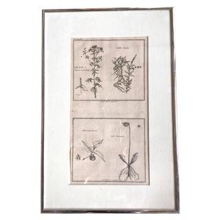 Antique Framed Botany Book Plate Print