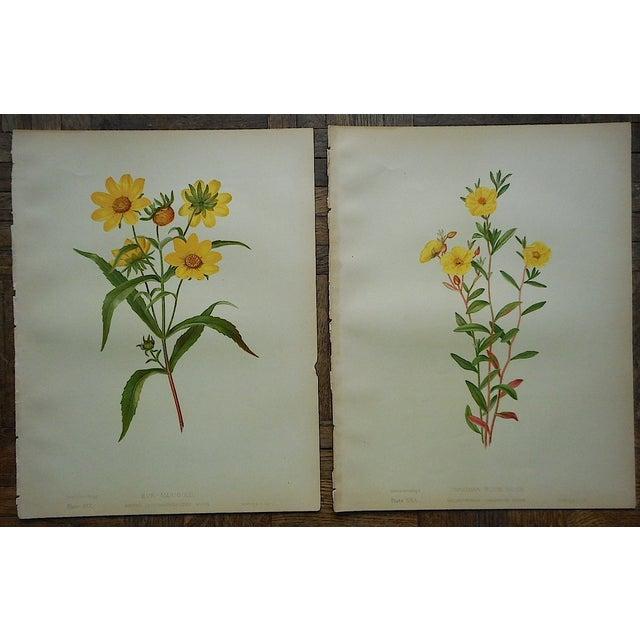 Antique Botanical Lithographs - A Pair - Image 2 of 3