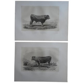 Antique Cow & Bull Engravings - Pair
