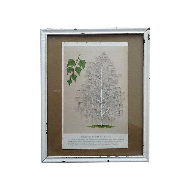 Vintage Birch Tree Chromolithograph - Image 1 of 4