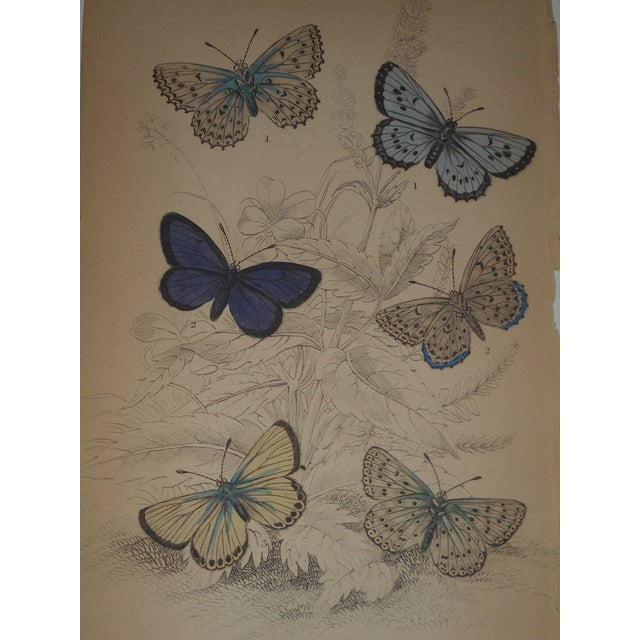 Image of 19th C. Hand Colored Engraving Butterflies