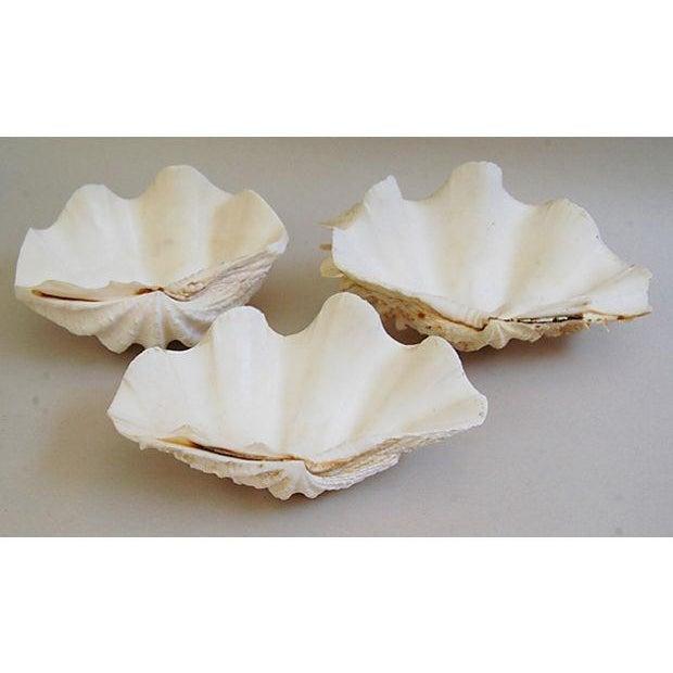Natural Saltwater Clamshells - Set of 3 - Image 2 of 8