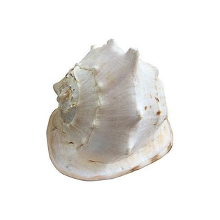 Giant Conch Seashell