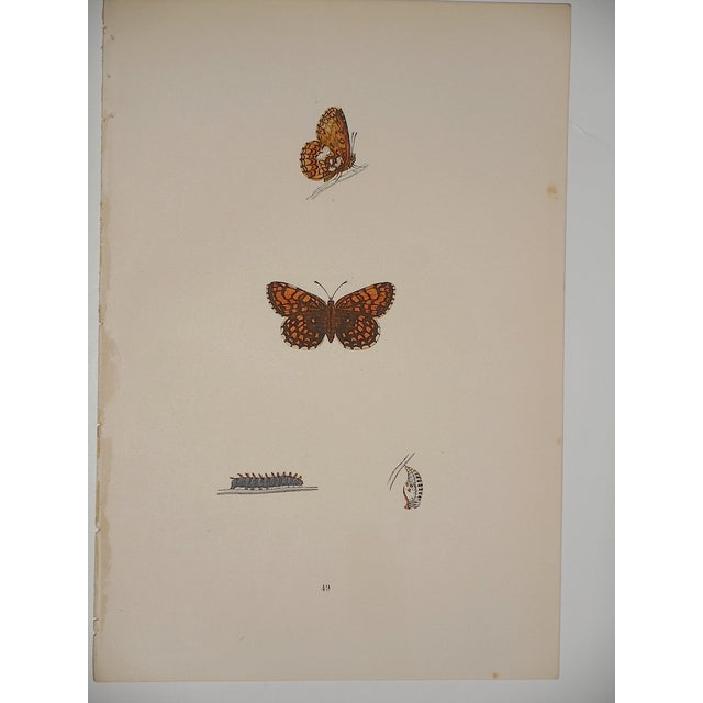 Antique English Butterfly Lithograph - Image 2 of 4