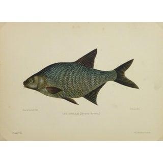 Antique Fish Print, Freshwater Bream, 1904