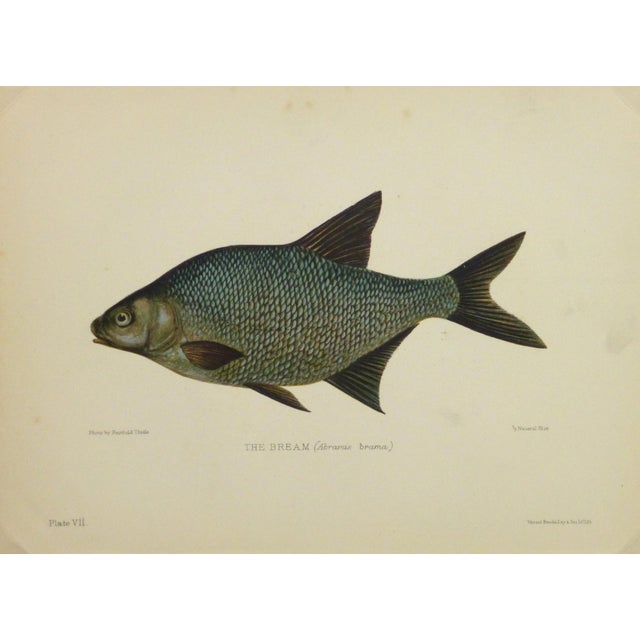 Antique Fish Print, Freshwater Bream, 1904 - Image 1 of 4