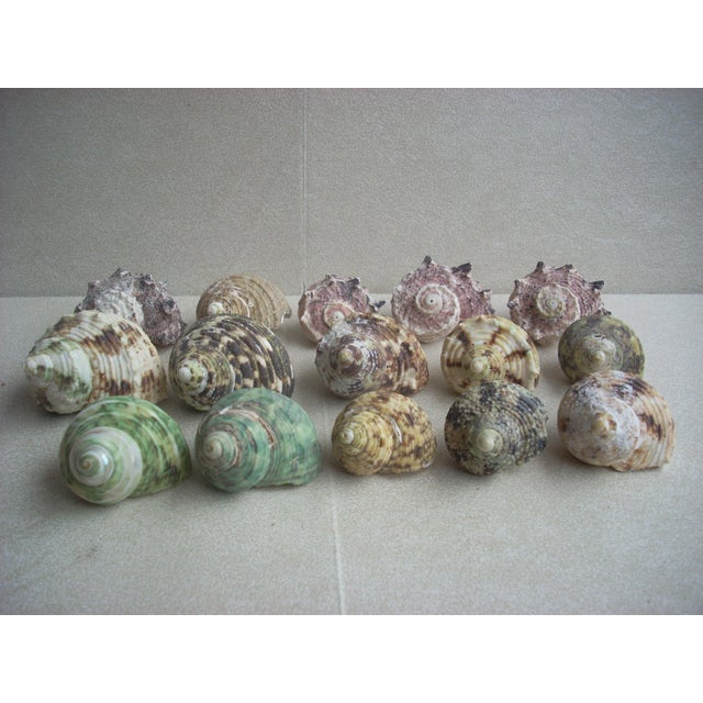 Natural Turban Seashells- Set of 15 - Image 2 of 5
