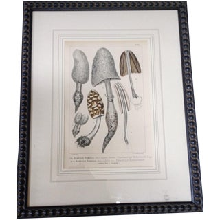 Botanical Lithograph of Grey Mushrooms