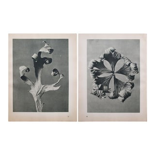 Karl Blossfeldt Two Sided Black & White Photogravure N37-38