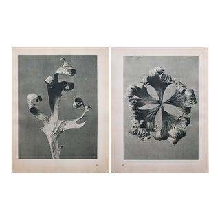 Karl Blossfeldt Two Sided Black & White Photogravure N37-38