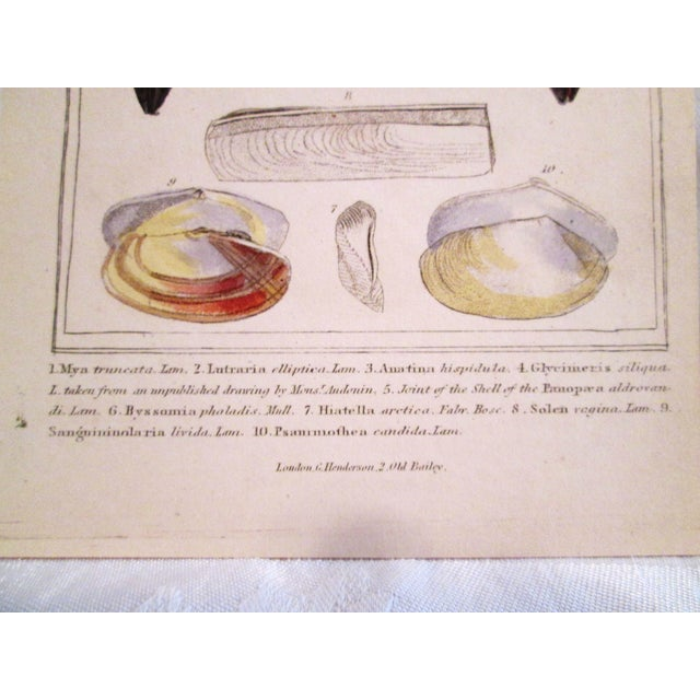 Image of Shell Engravings, C. 1840 - Pair