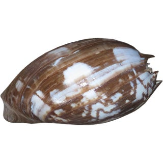 Indonesian Decorative Shell Specimen