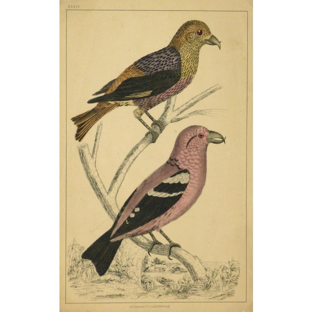Image of Antique Crossbill Birds Engraving, C. 1850