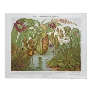 Antique Botanical Carnivorous Plants Lithograph
