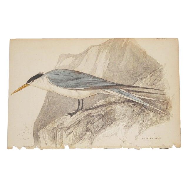 Image of Antique English Shore Bird Engraving Print