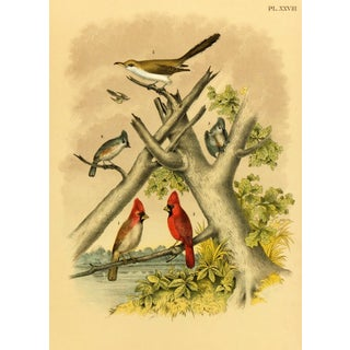 Antique Song Bird Print, 1881
