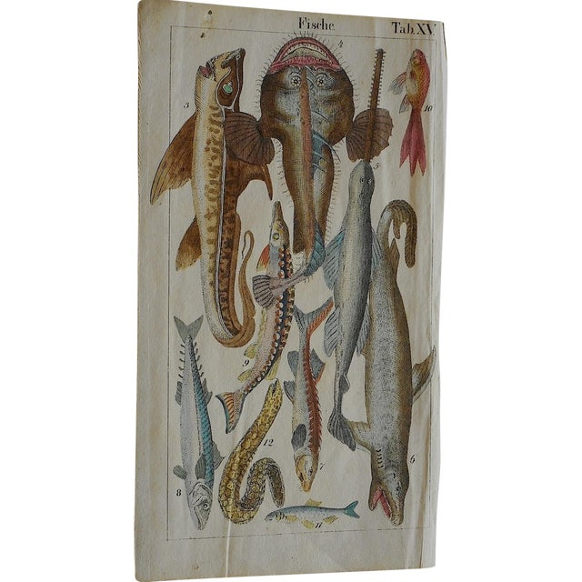 Image of Antique Fish & Insect Engravings C.1700 - A Pair