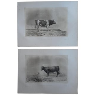 Antique Folio Cows And Bulls Engraving - A Pair