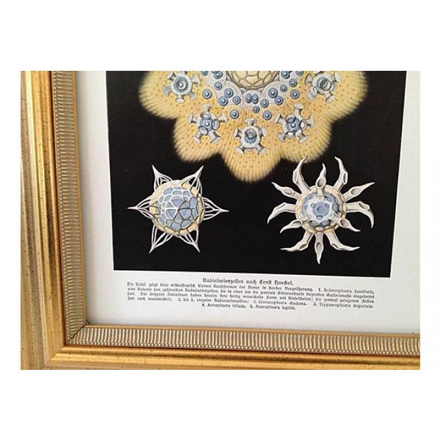 Antique Starfish Lithograph by Haeckel - Image 2 of 6