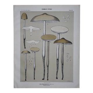 Antique Mushroom Chromolithograph