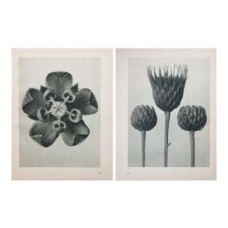 Karl Blossfeldt Double Sided Photogravure N71-72