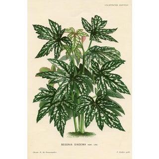 Begonia Print, Circa 1882