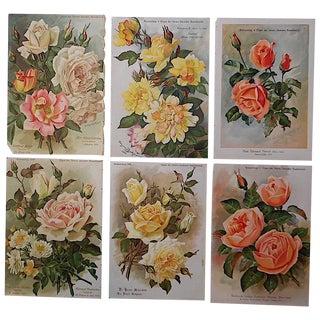 Antique Botanical Lithographs Roses - Set of 6