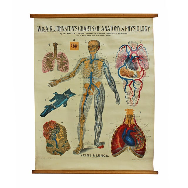 Antique Anatomical Chart- Veins & Lungs - Image 1 of 2