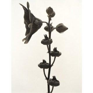 Eric Axene Gelatin-Silver Print - Hollyhock