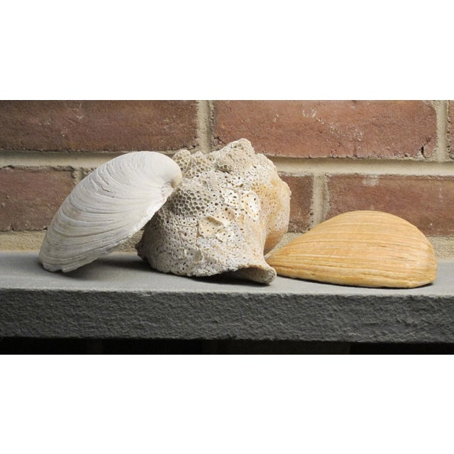Large Natural Conch and Clam Seashells - Set of 3 - Image 2 of 10