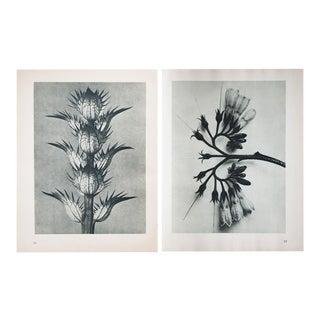 Karl Blossfeldt Double Sided Photogravure N77-78
