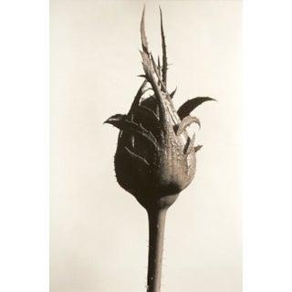 Eric Axene Gelatin-Silver Print - Rosebud