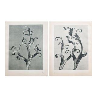 Karl Blossfeldt Double Sided Photogravure N39-40