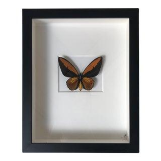 Shadow Box Framed Fiery Birdwing