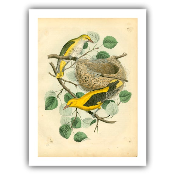 Antique Birds & Nest Archival Print - Image 4 of 4