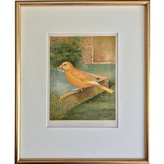 Antique Color Lithograph Norwich Canary 1900