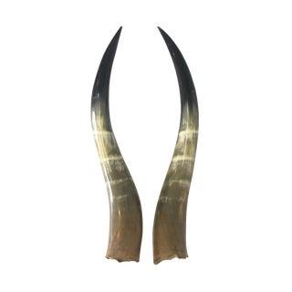 Vintage Steer Horn Display Pieces - a Pair