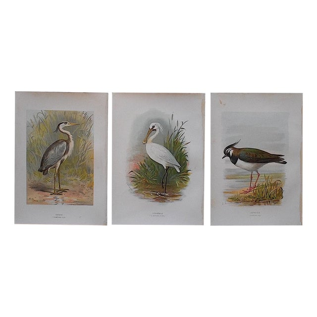 Antique Bird Lithographs - Set of 3 - Image 1 of 3