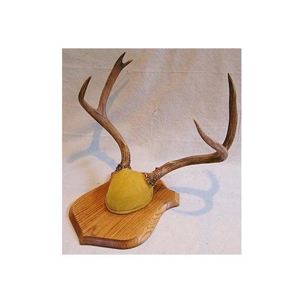 Mounted Trophy Deer Antlers on Wood Shield - Image 2 of 8